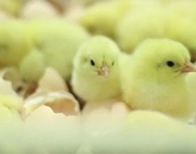 Mitos y buenas prácticas en avicultura: algo para aprender